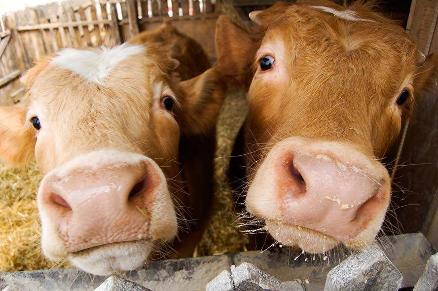 Cows get their own Tinder-style app for breeding